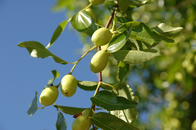 Growing a Jujube Tree in Hot, Dry Climates - Garden of Luma