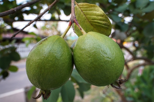 Growing Tropical Guava Trees in Hot, Dry Climates - Garden