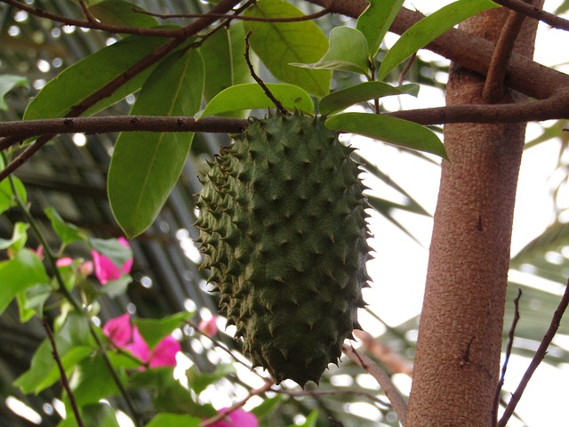 Growing A Soursop Tree In Hot, Dry Climates - Garden Of Luma-6607