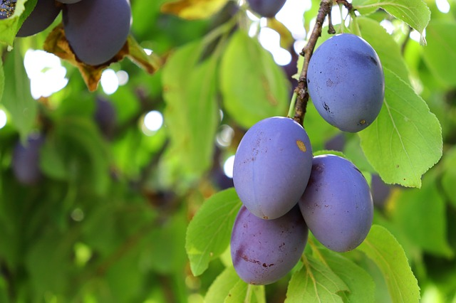 Growing Plum Trees In Hot Dry Climates Garden Of Luma